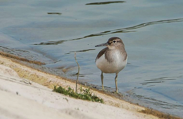 Common Sandpiper, Pitsford Res, 20th July 2016 (John Nicholls)
