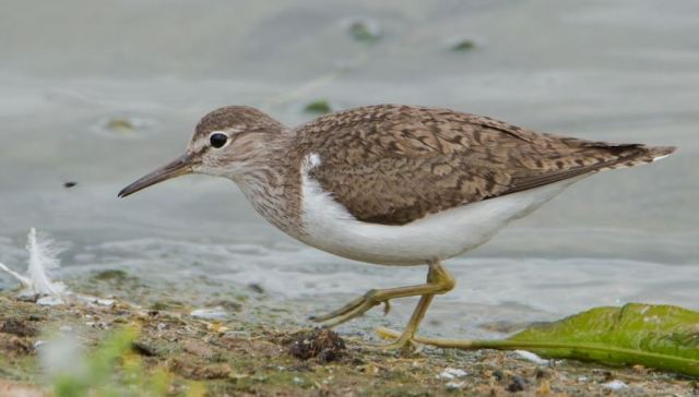 Common Sandpiper, Sywell CP, 25th July 2016 (John Nicholls)