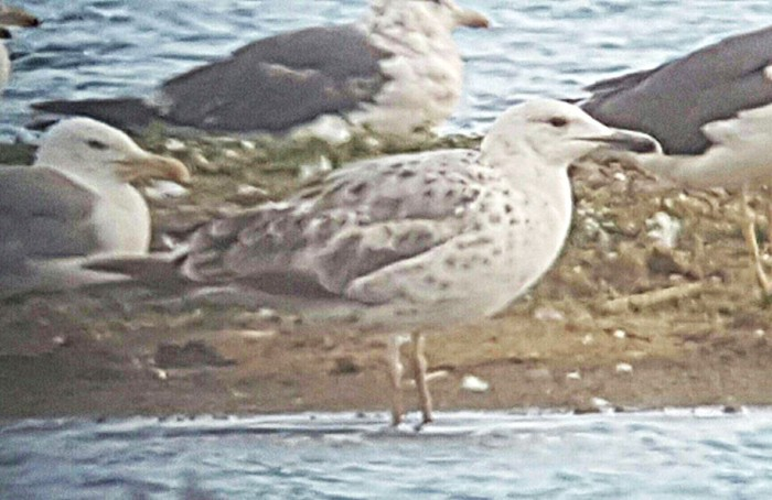 First-summer Caspian Gull, Stanwick GP, 13th July 2016 (Steve Fisher)