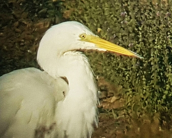 Great White Egret, Stanwick GP, 26th July 2016 (Steve Fisher)