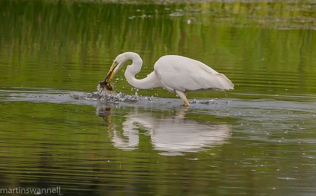 Great White Egret, Summer Leys LNR, 22nd July 2016 (Martin Swannell)