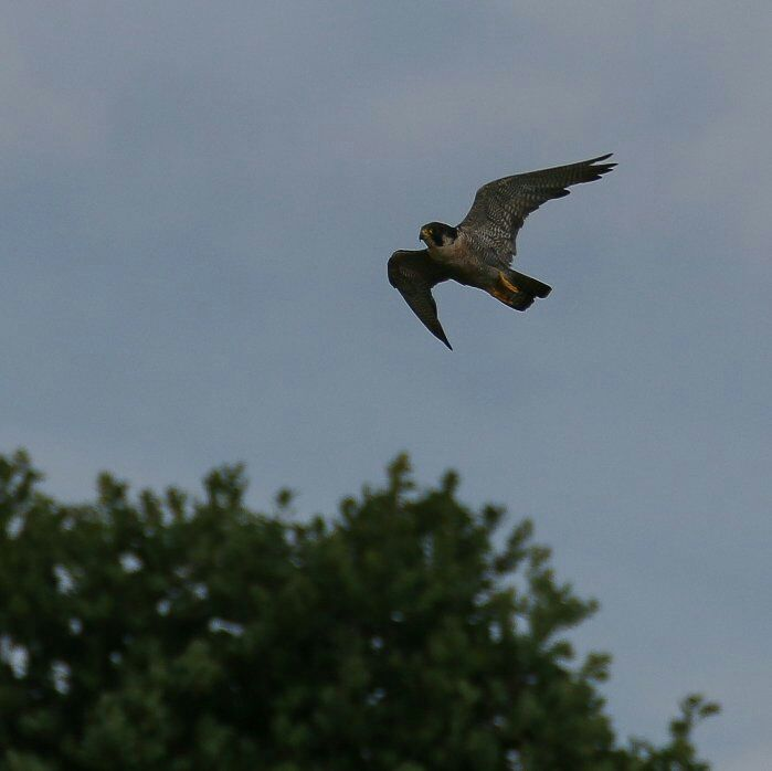 Peregrine, Summer Leys LNR, 16th July 2016 (Ricky Sinfield)