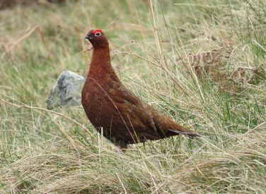 Red Grouse, Hawsen Burn, Cheviot Hills, Northumberland, 21st April 2014 (MPF/Wikimedia Commons)
