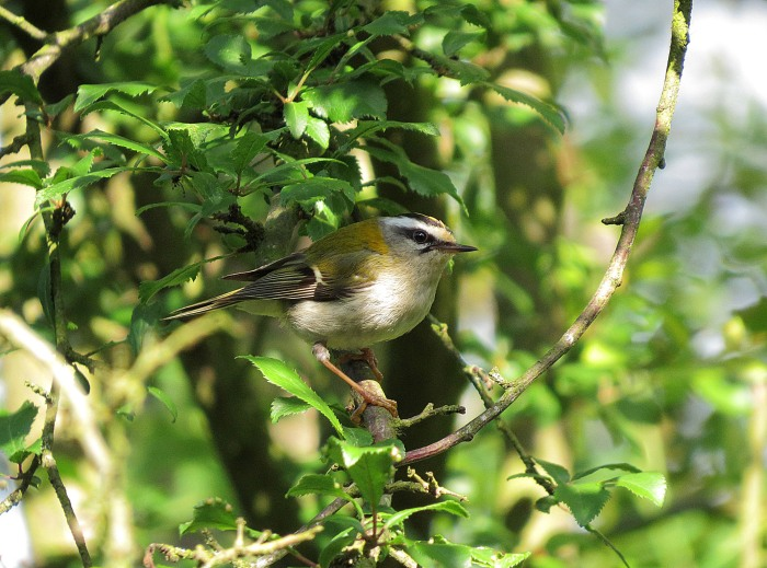Male Firecrest, Northamptonshire, June 2016