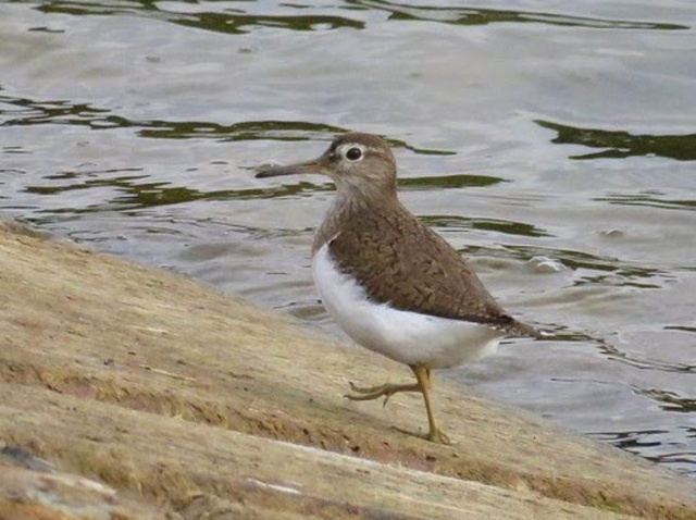 Adult Common Sandpiper, Pitsford Res, 11th August 2016 (Alan Francis)