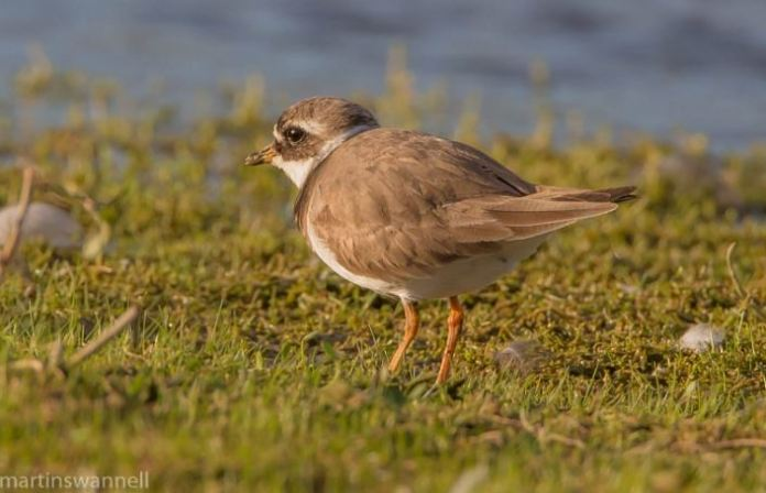 Ringed Plover, Hollowell Res, 9th August 2016 (Martin Swannell)