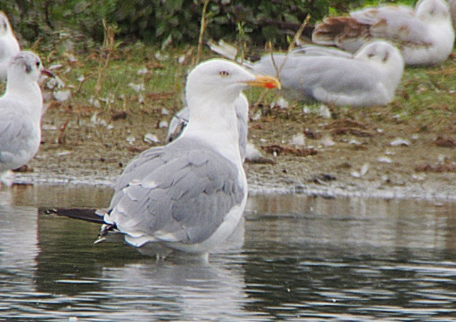 Adult Yellow-legged Gull, Summer Leys LNR, 14th August 2016 (Mike Alibone)