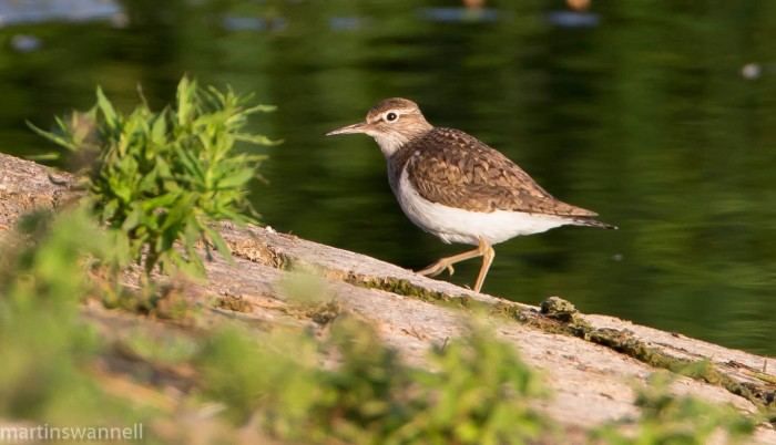 Common Sandpiper, Sywell CP, 30th July 2016 (Martin Swannell)