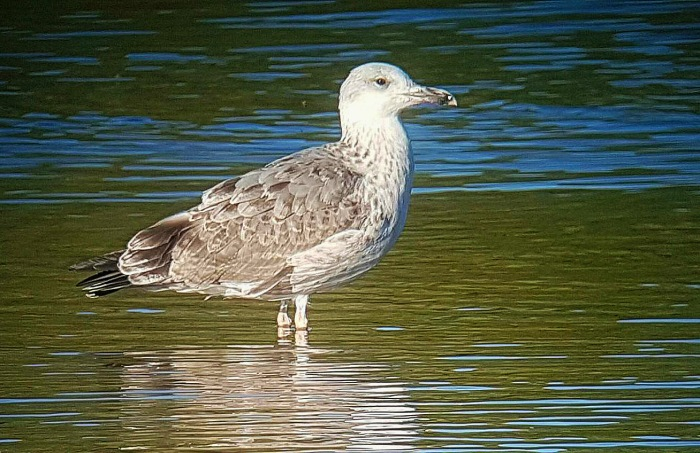 First-summer Caspian Gull, Stanwick GP, 26th August 2016 (Steve Fisher)