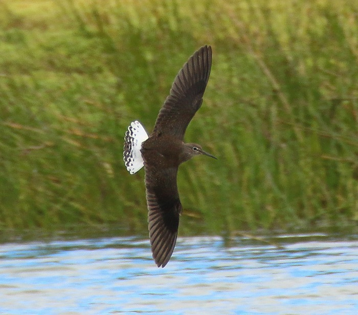 Green Sandpiper, Summer Leys LNR, 21st August 2016 (Ricky Sinfield)