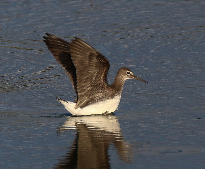 Green Sandpiper, Summer Leys LNR, 22nd August 2016 (Ricky Sinfield)