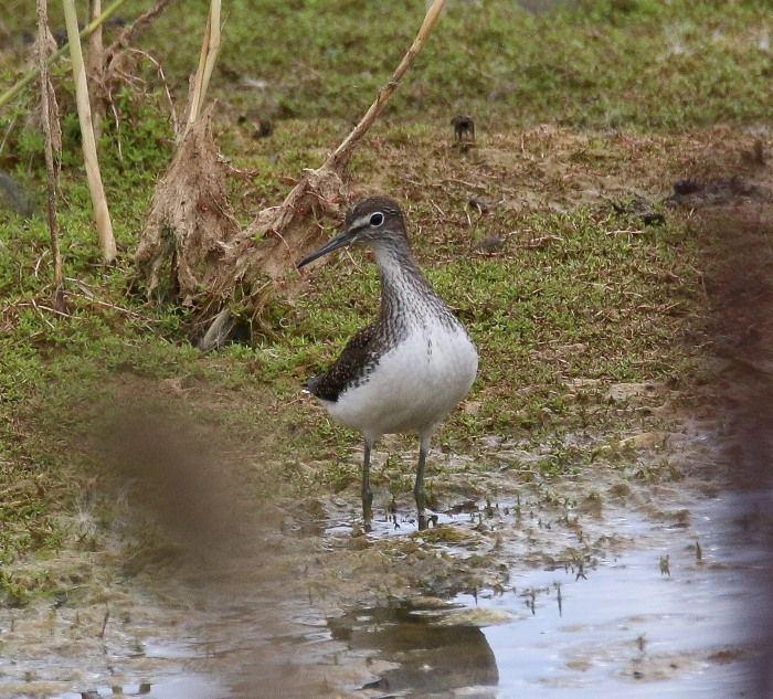 Green Sandpiper, Summer Leys LNR, 4th August 2016 (Ricky Sinfield)