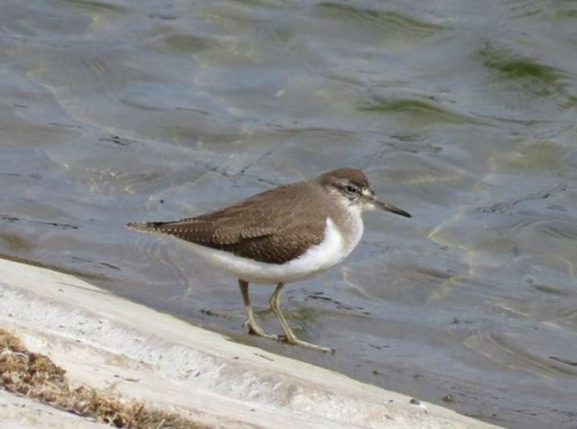 Juvenile Common Sandpiper, Sywell CP, 22nd August 2016 (Alan Francis)