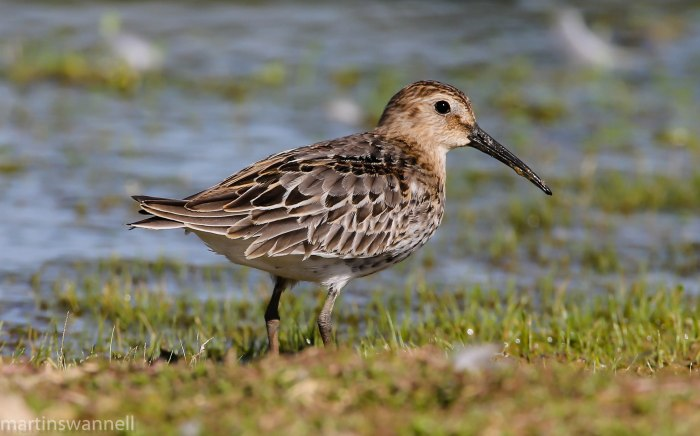 Juvenile Dunlin, Hollowell Res, 15th August 2016 (Martin Swannell)