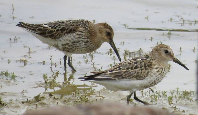 Juvenile Dunlins, Pitsford Res, 2nd August 2016 (Alan Francis)