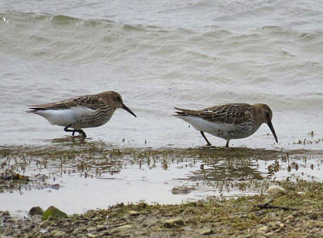 Juvenile Dunlins, Pitsford Res, 8th August 2016 (Alan Francis)
