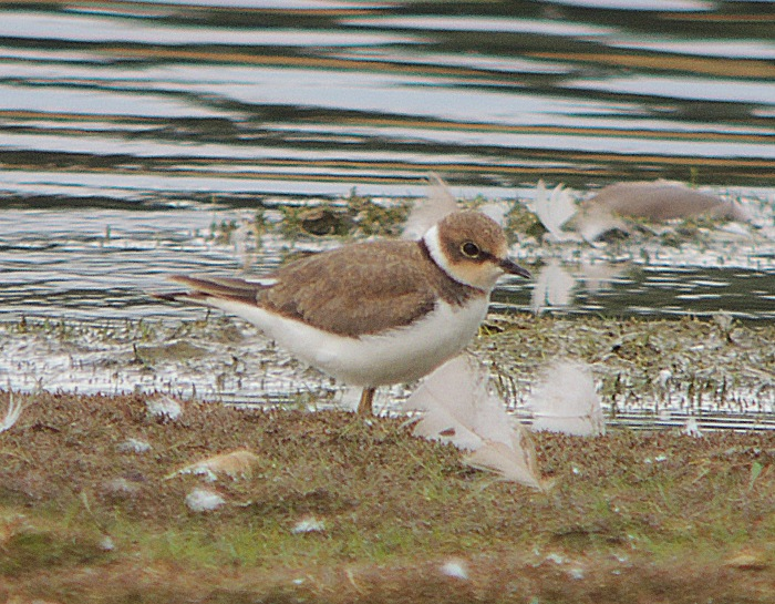 Juvenile Little Ringed Plover, Hollowell Res, 5th August 2016 (Mike Alibone)