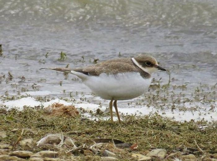 Juvenile Little Ringed Plover, Sywell CP, 22nd August 2016 (Alan Francis)