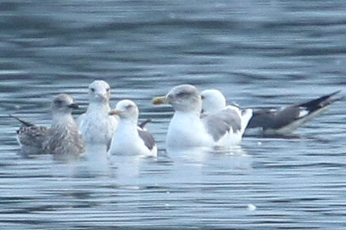 Putative adult Azorean Gull, Stanwick GP, 25th August 2016 (Bob Bullock)