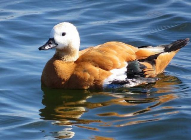 Ruddy Shelduck, Pitsford Res, 15th August 2016 (Alan Francis)
