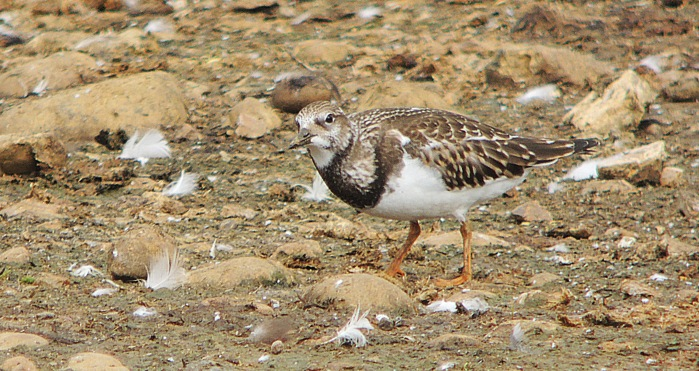 Juvenile Turnstone, Stanwick GP, 21st August 2016 (Mike Alibone)