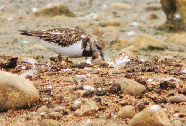 Turnstone 2 - Copy (2)