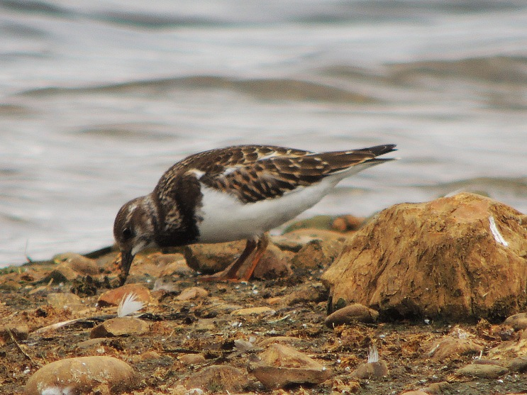 Turnstone 3 - Copy