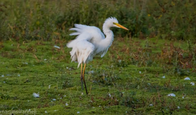 Great White Egret, Summer Leys LNR, 23rd September 2016 (Martin Swannell)