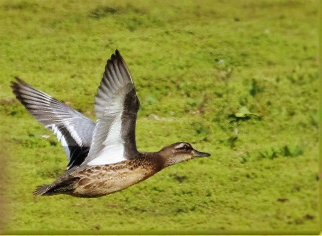 Juvenile drake Garganey, Summer Leys LNR, 1st September 2016 (Alan Coles)