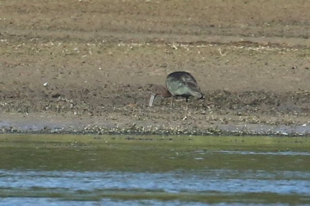 Adult Glossy Ibis, Daventry CP, 28th September 2016 (Bob Bullock)