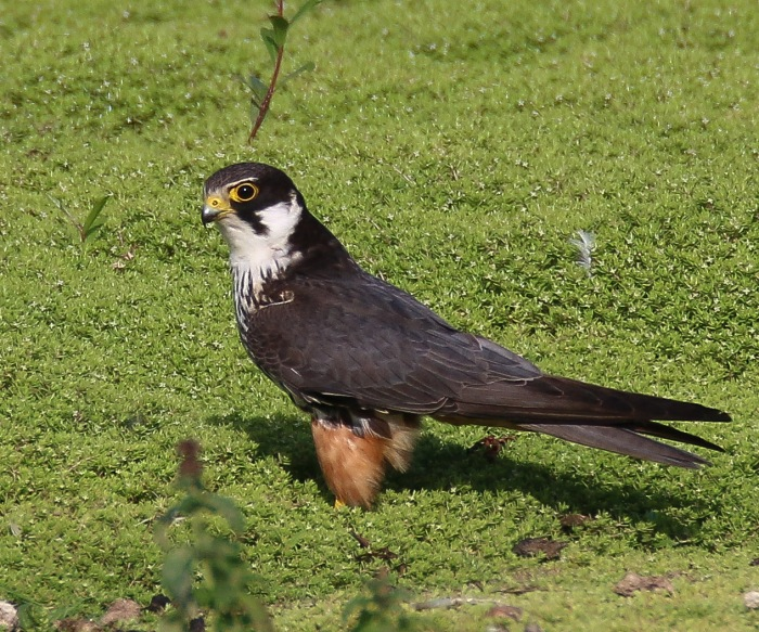 Adult Hobby, Summer Leys LNR, 1st September 2016 (Ricky Sinfield)