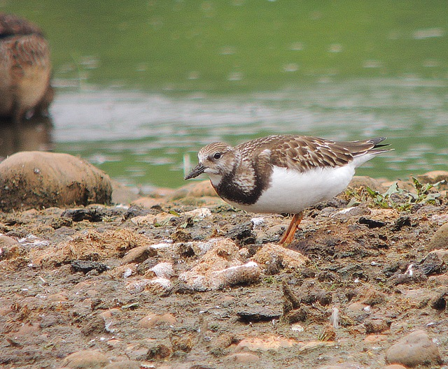 Juvenile Turnstone, Stanwick GP, 29th August 2016 (Mike Alibone)