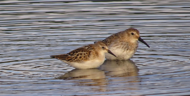 Juvenile Little Stint with Dunlin, Hollowell Res, 1st September 2016 (Cathy Ryden)