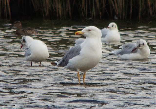 Adult Yellow-legged Gull, Stanwick GP, 28th August 2016 (Mike Alibone)