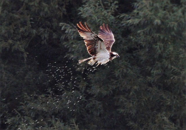 Adult Osprey, Pitsford Res, 12th September 2016 (Alan Coles)