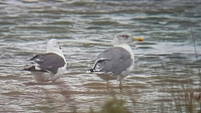 Putative 'Azorean' Gull, Stanwick GP, 2nd September 2016 (Steve Fisher)