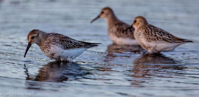 Dunlin, Hollowell Res, 31st August 2016 (Martin Swannell)