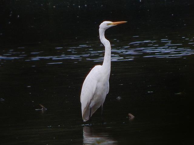 Great White Egret, Deene Lake, 25th September 2016 (James Underwood)
