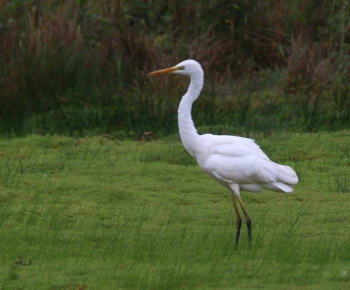 Great White Egret, Summer Leys LNR, 17th September 2016 (Ricky Sinfield)