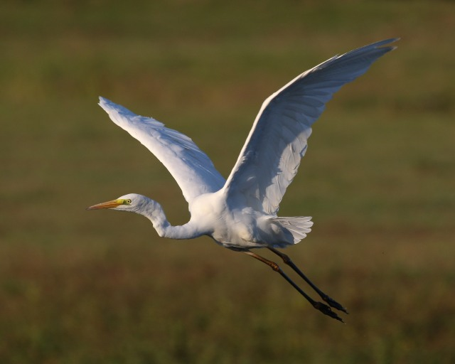Great White Egret, Summer Leys LNR, 22nd September 2016 (Ricky Sinfield)