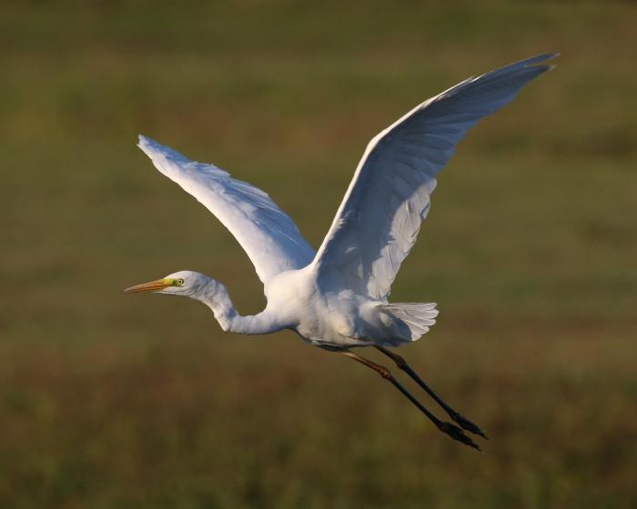 Great White Egret, Summer Leys LNR, 22nd September 2016 (Ricky Sinfield)