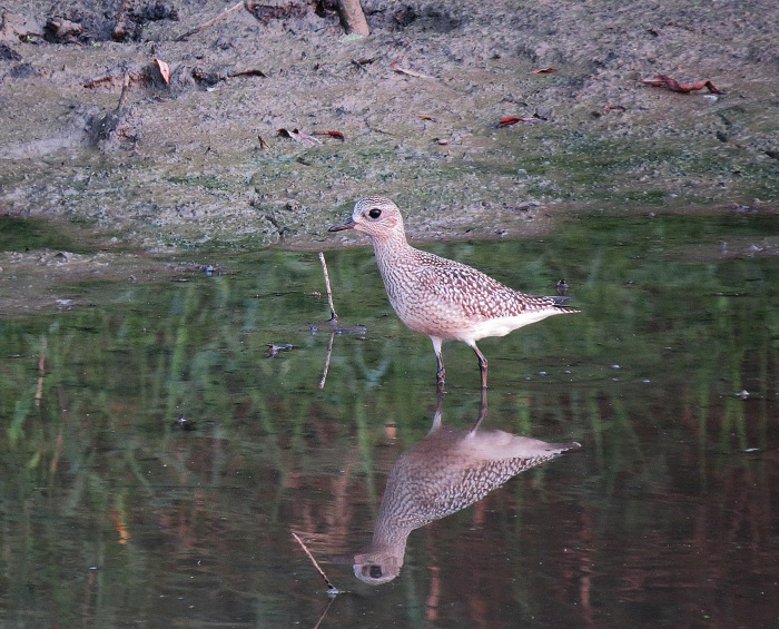 Grey Plover, Boddington Res, 14th September 2016 (John Friendship-Taylor)