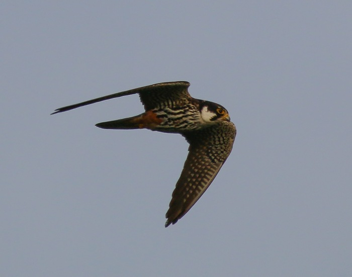 Hobby, Summer Leys LNR, 10th September 2016 (Ricky Sinfield)