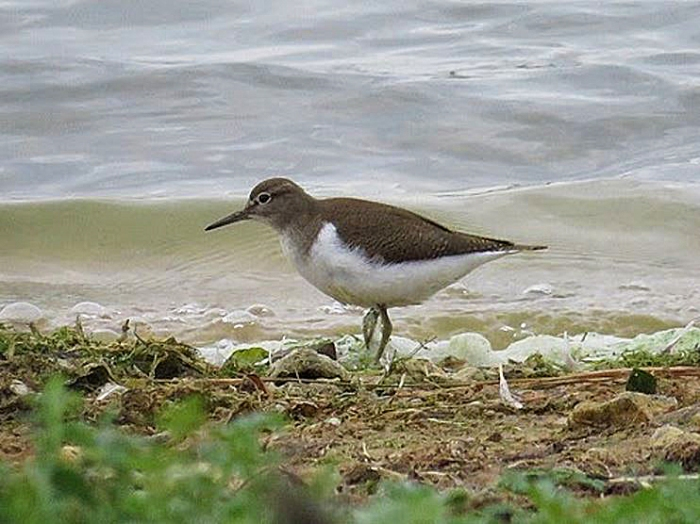 Juvenile Common Sandpiper, Pitsford Res, 26th September 2016 (Alan Francis)