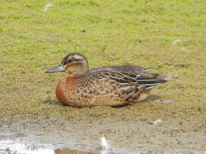 Juvenile drake Garganey, Summer Leys LNR, 4th September (Mike Alibone)