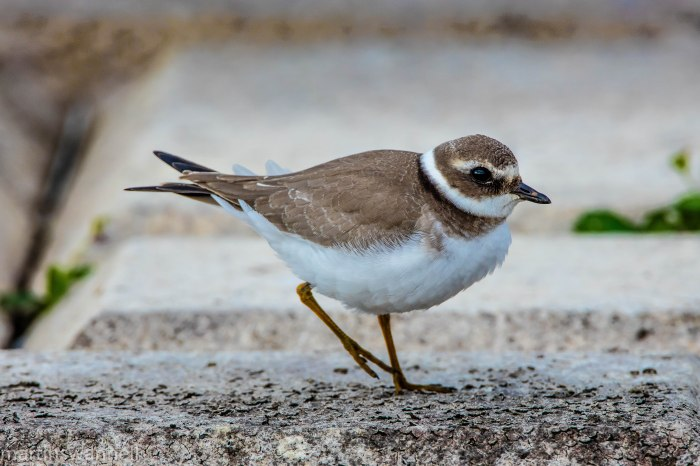 Juvenile Ringed Plover, Pisford Res, 6th September 2016 (Martin Swannell)