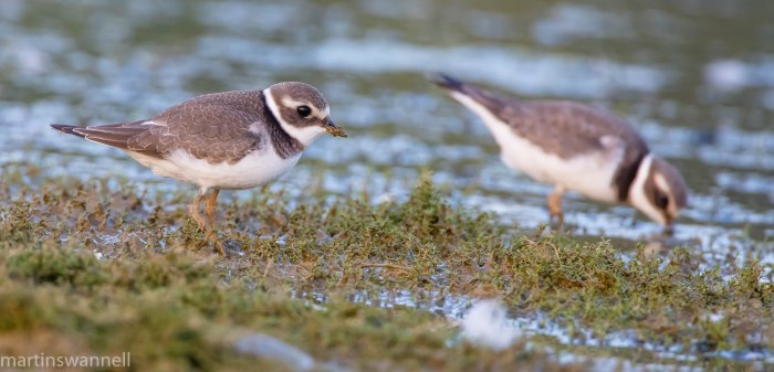 Juvenile Ringed Plovers, Hollowell Res, 7th September 2016 (Martin Swannell)