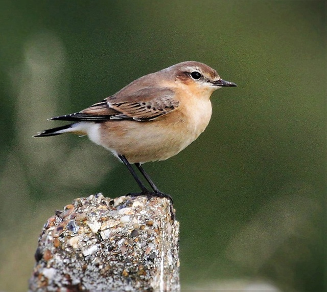 Northern Wheatear, Pitsford Res, 12th September 2016 (Alan Coles)