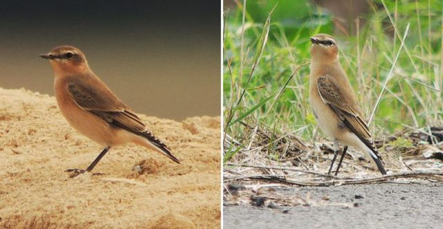 Northern Wheatear, Preston Deanery, 21st September 2016 (Mike Alibone)
