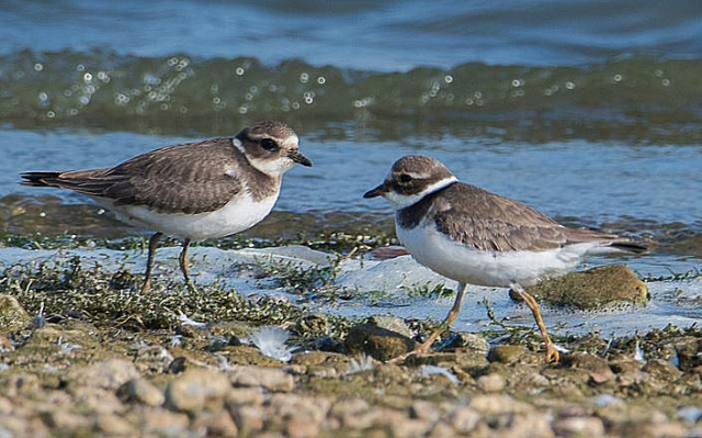 Ringed Plovers, Pitsford Res, 14th September 2016 (John Nicholls)